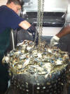 Purged Louisiana Crawfish buy the sack and boiled at your